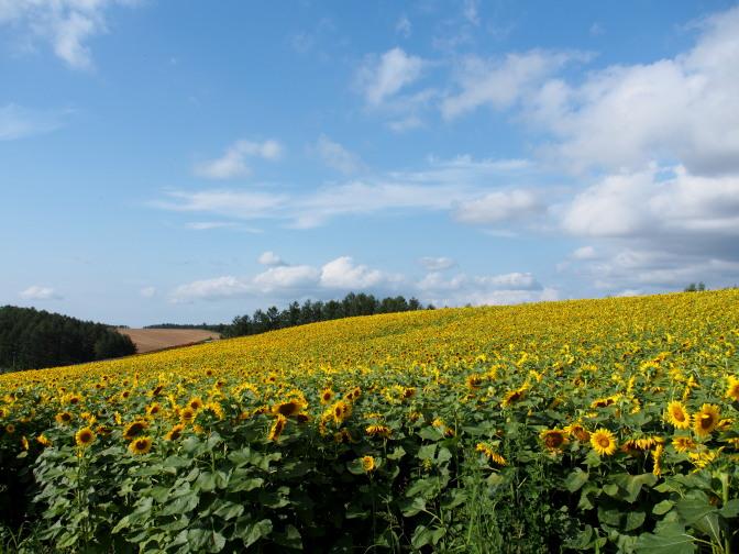 四季彩の丘のひまわり畑