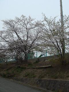 緑ヶ丘公園の桜02