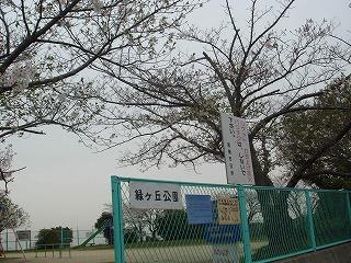 緑ヶ丘公園の桜01