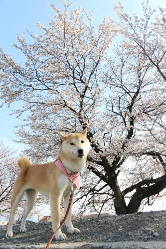 4月桜の木とさくら