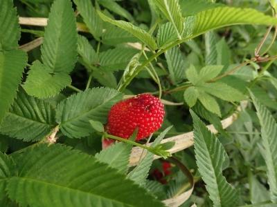 バライチゴの果実