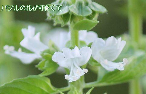 バジルのお花