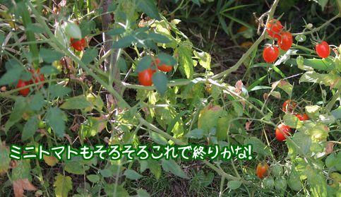 ミニフルーツトマト