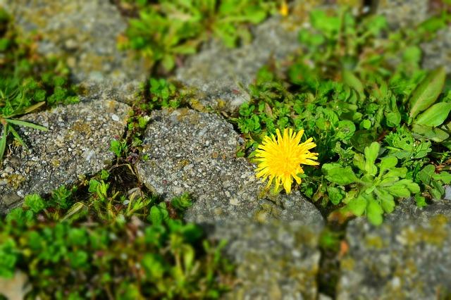 dandelion-705660_640.jpg
