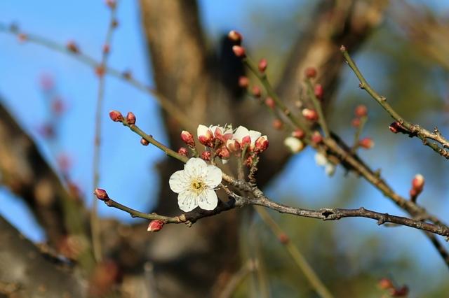 咲き出した白梅