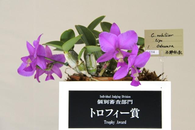 """トロフィー賞 C.nobilior tipo """"Odawara"""""""