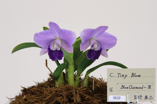 "C.Tiny Blue ""Blue Diamond Ⅲ"""