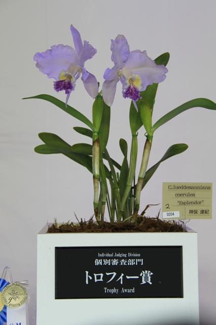 "C.lueddemanniana coerulea ""Esplender"""