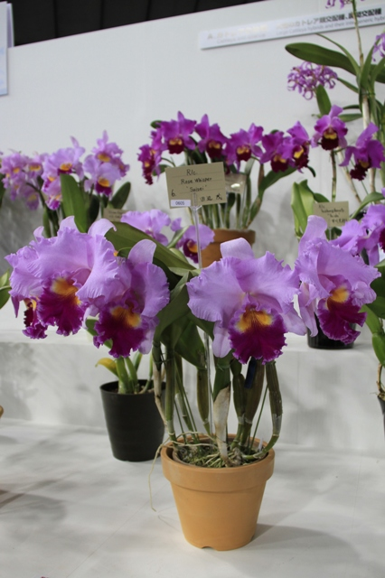 "Rlc.Rose Whisper ""Suisei"""