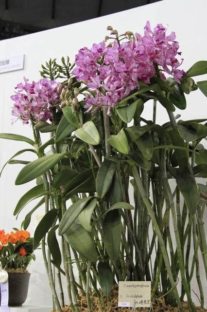 "C.amethystoglossa ""Orchidglade"""