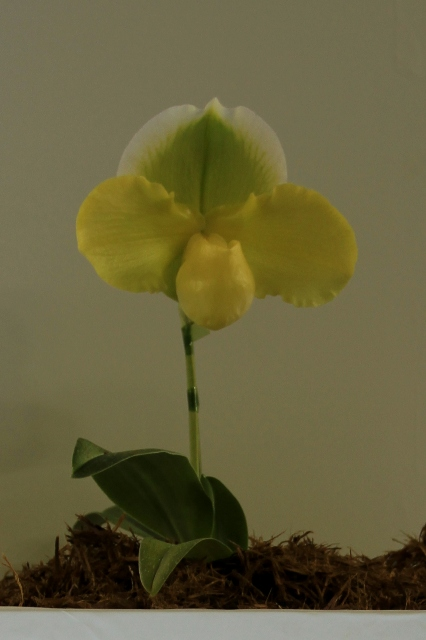 "Paph.Emerald Future ""Perfection"""