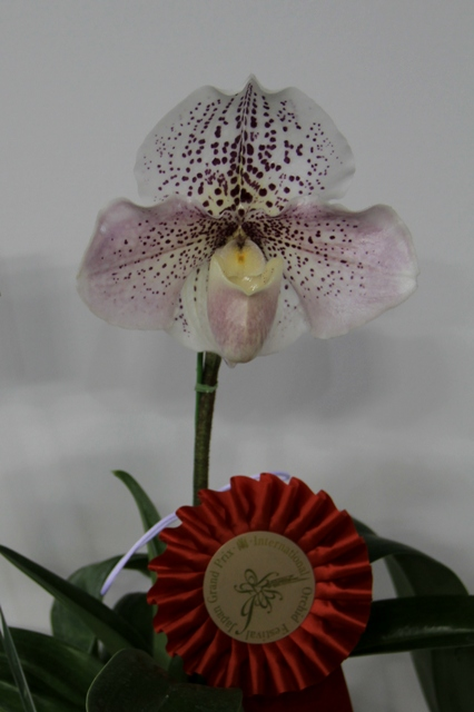 "Paph.Pink Palace ""Cherry Balloon"""