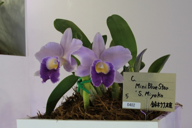 "C.Mini Blue Star ""S.Miyako"""