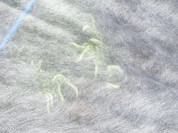 2017-03-03ソラマメ (1)