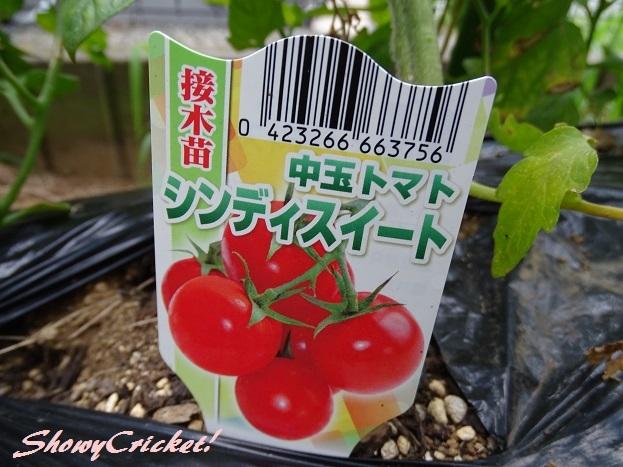 2017-08-10苗トマト (29)