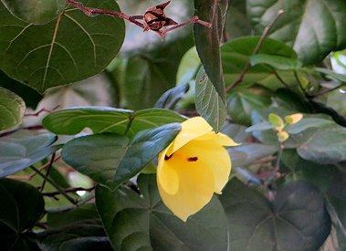 ハイビスカスに似たハウツリーの黄色い花REVdownsize