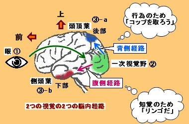 2つの視覚経路