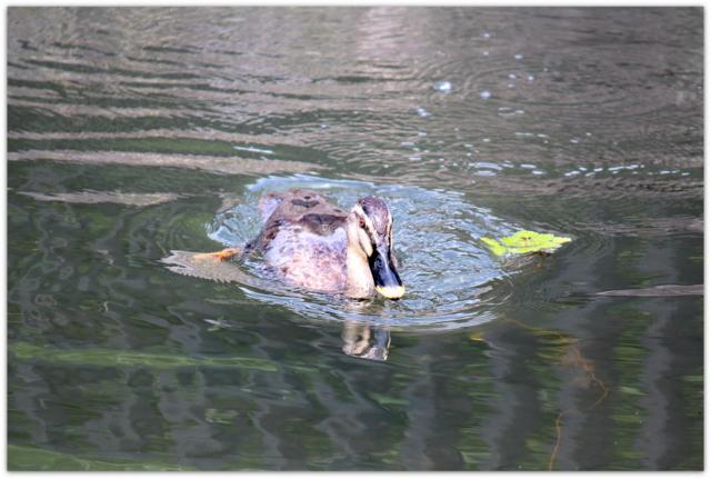 野鳥 水鳥 鴨 カルガモ 写真 自然