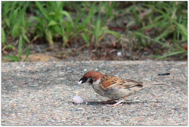 弘前公園 弘前城 観光 青森県 弘前市 野鳥 写真 スズメ