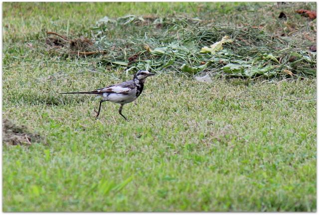 弘前公園 弘前城 観光 青森県 弘前市 野鳥 写真 ハクセイキレイ