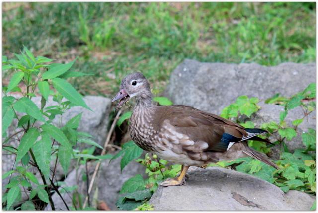 弘前公園 弘前城 観光 青森県 弘前市 野鳥 写真 オシドリ