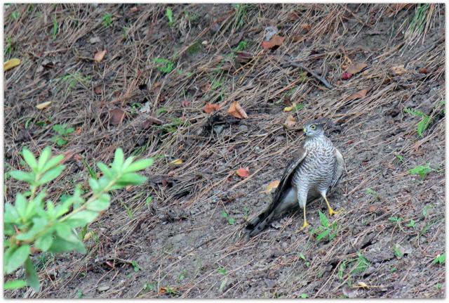 弘前公園 弘前城 観光 青森県 弘前市 野鳥 写真 タカ