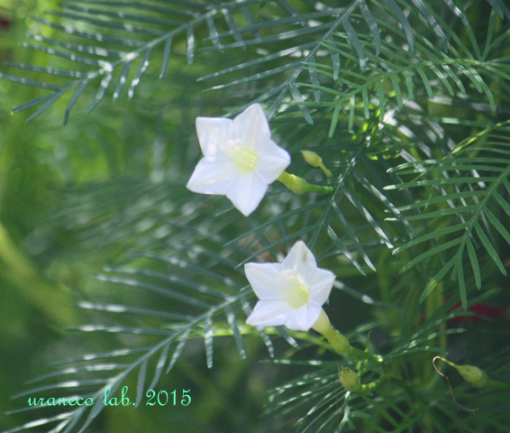 8月10日white star2