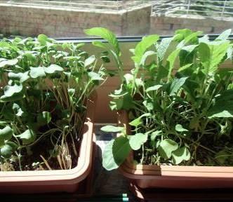 ダイコン葉栽培