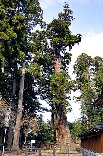 141124安良川の爺杉①