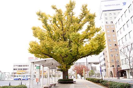 141124日立駅前イチョウ②