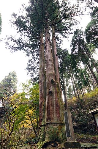 141124日立御岩神社三本杉①