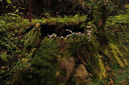 141124日立御岩神社三本杉⑭