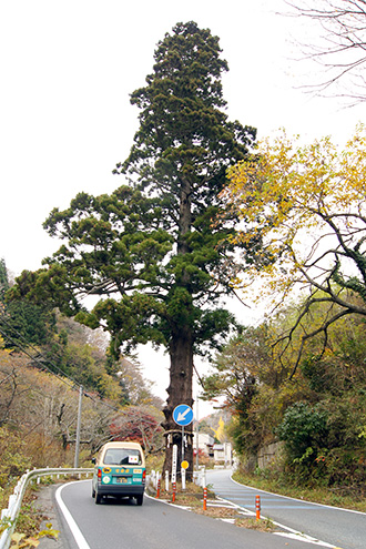141124日立市本山の一本杉②
