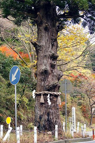 141124日立市本山の一本杉④