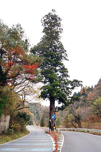 141124日立市本山の一本杉①