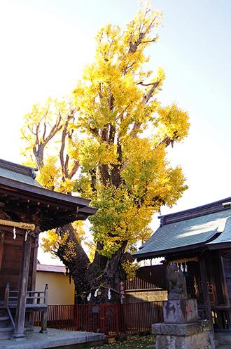 141127押切稲荷神社銀杏①