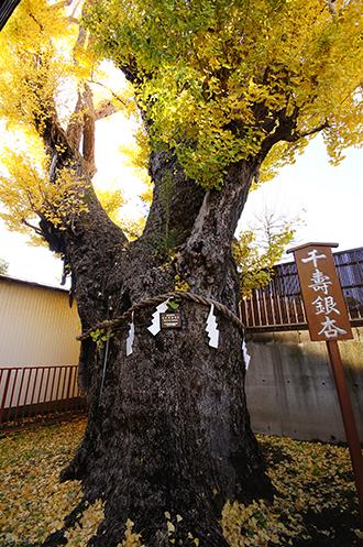141127押切稲荷神社銀杏②