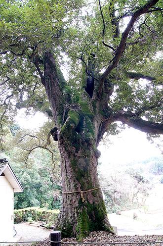 141221八幡神社イチイガシ⑥