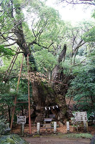 150222葛見神社の大楠①