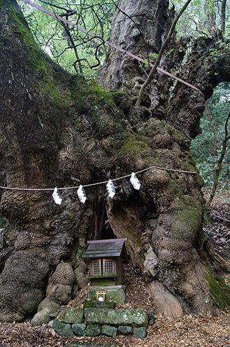 150222葛見神社の大楠②