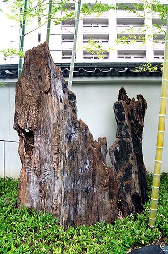150810足立区 源長寺の欅①