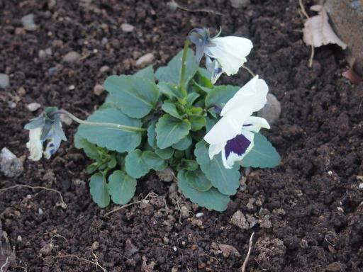 20141227・植物4・パンジー