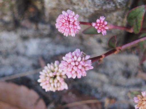 20141227・植物3・ヒメツルソバ