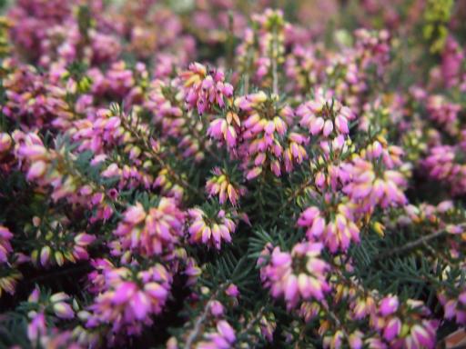 20150111・植物4-1・エリカ