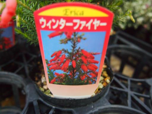 20150111・植物3-2・ウインターファイヤー