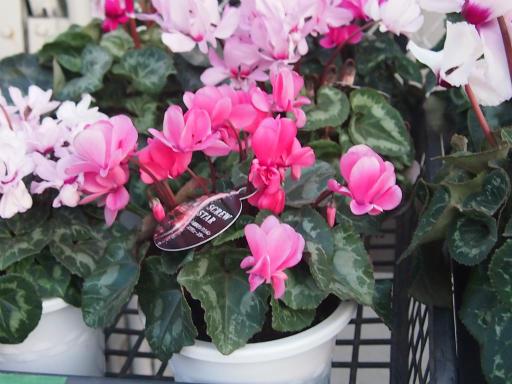 20150111・植物2-3・シクラメン