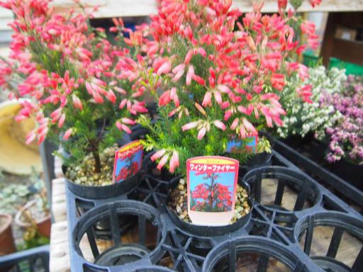 20150111・植物3-1・ウインターファイヤー