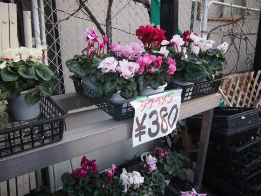 20150111・植物2-2・シクラメン