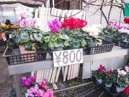 20150111・植物2-1・シクラメン