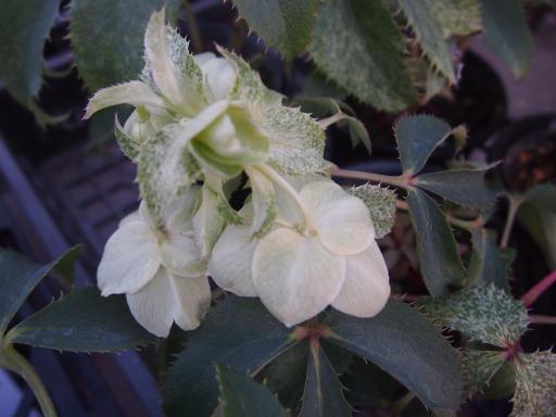 20150111・植物7-1・ジャネットスターン
